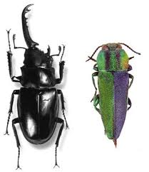Gynandromorph Beetles