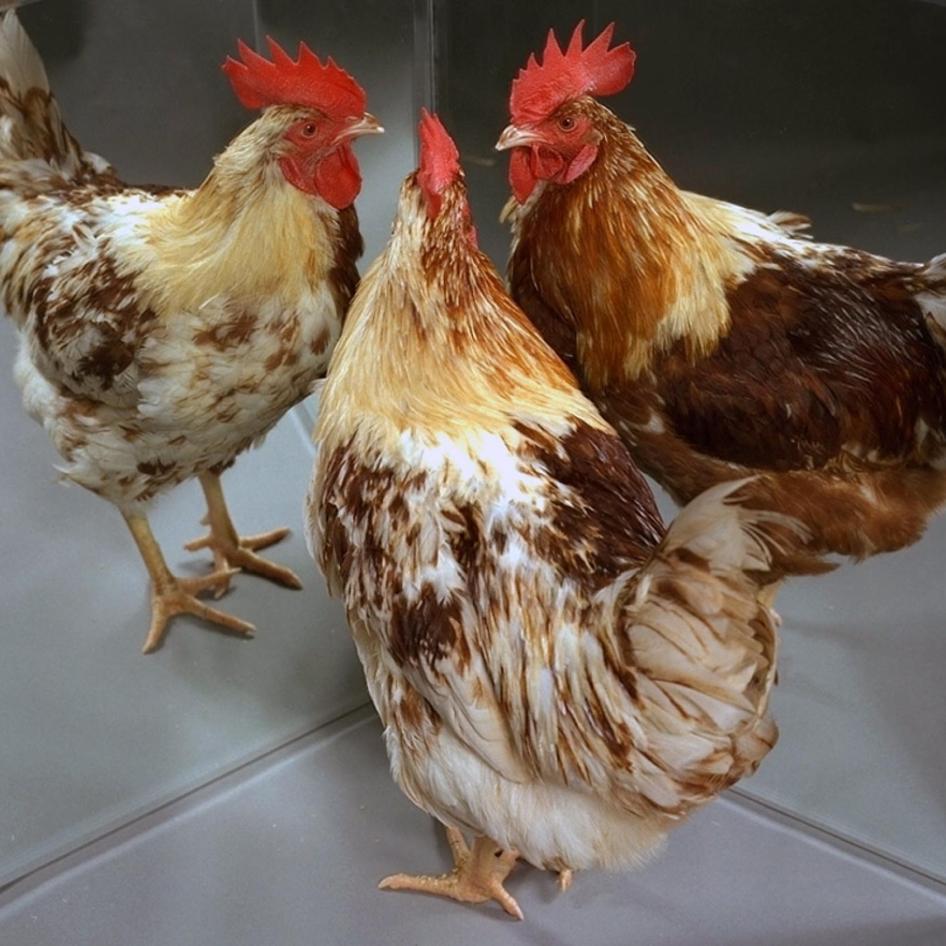 Gynandromorph Chickens