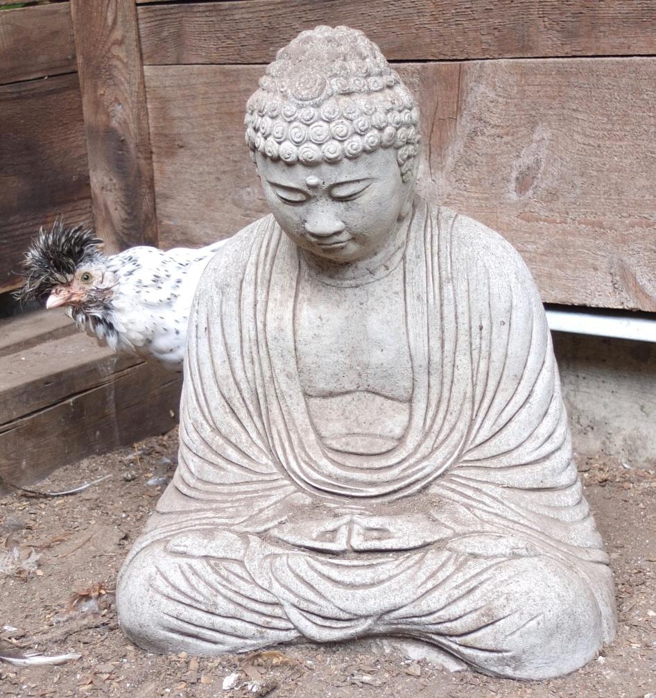 Peek A Buddha (Appenzeller Spitzhauben Pullet)