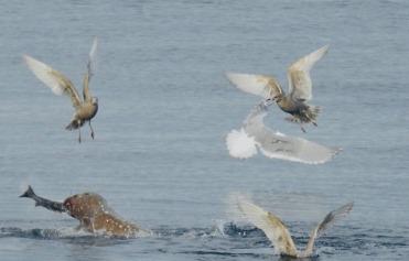 Sealion & Gulls (Credit: Anne Gallagher)