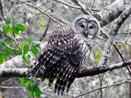 Barred Owl (Credit: Anne Gallagher)