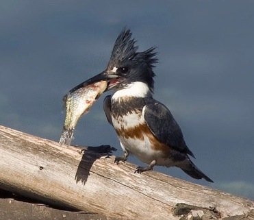 Belted Kingfisher (Credit: Creative Commons)