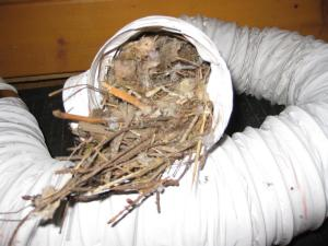 Bird Nest In Dryer Vent Hose