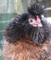 Coco (Appenzeller x barnyard frizzle)