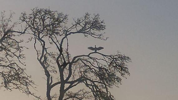Cormorant (Credit: Heidi Price)