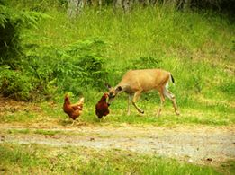 Deer & Chickens (Credit: Katherine Palmer Gordon)