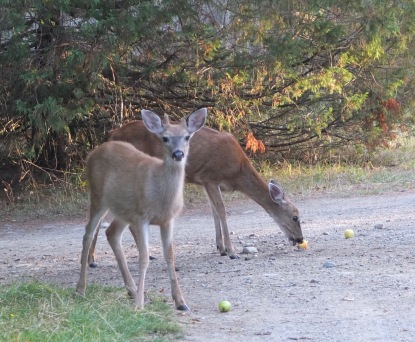 Deer Eating Apples