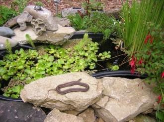 Garter Snake At Pond