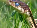 Garter Snake (Credit: GROWLS)