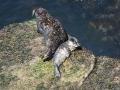 Harbour Seals (Credit: GROWLS)