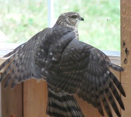 Cooper's Hawk (Credit: Sharon McInnes)