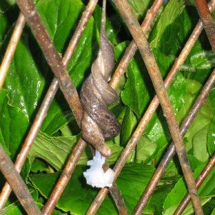 Mating Banana Slugs