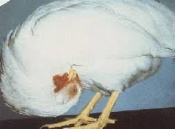 Newcastle Disease (Credit: Poultry World)