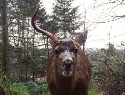 One-Antlered Buck (Credit: Shannon Gresham)