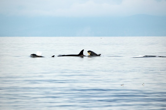 Orcas (Credit: Chris Straw)