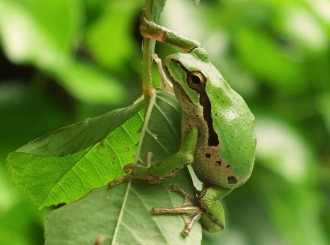 Pacific Chorus Frog (Credit: Shannon Gresham)