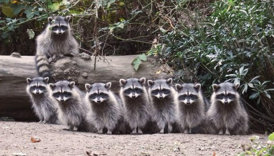 Raccoon Family (Credit: Shannon Gresham)