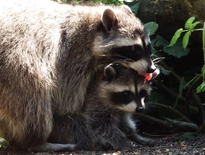 Raccoon Mum & Baby (Credit: Shannon Gresham)