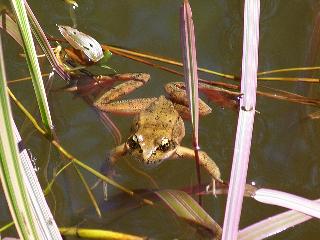 Red Legged Frog (Credit: Liz Cioccea)