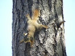 Red Squirrel (Credit: Katherine Palmer Gordon)