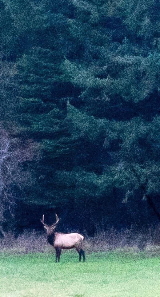 Roosevelt Elk (Credit: Keith Seibold)