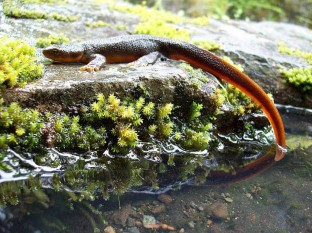 Rough Skinned Newt (Credit: GROWLS)