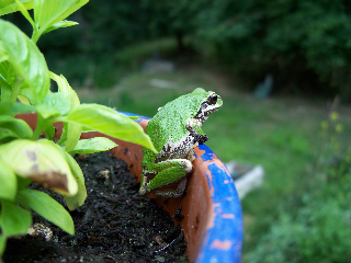Pacific Tree Frog (Credit: Liz Cioccea)