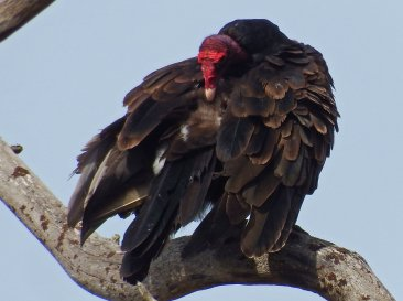 Turkey Vulture (Credit: Shannon Gresham)