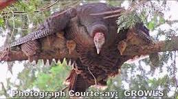Feral Turkeys (Credit: GROWLS)