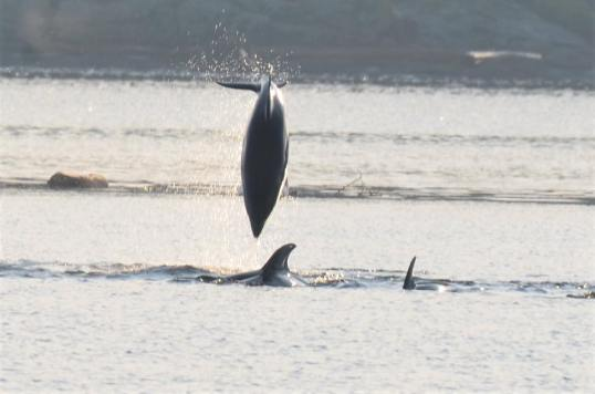 White-Sided Dolphins (Credit: Linda Sue Blokhuizen)