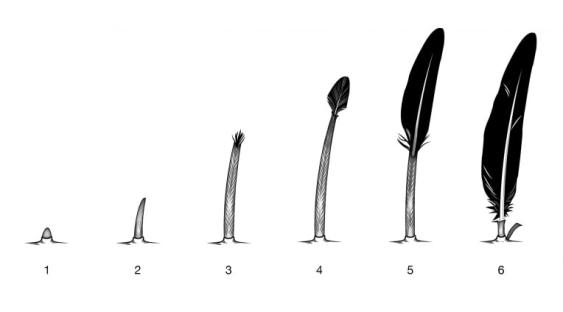 Feather Growth Stages (Credit: Bird Academy)