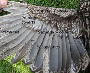 Wing Feathers (Credit: Cluckin)