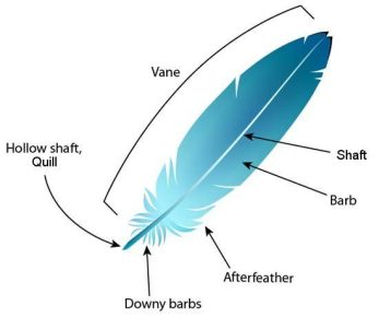 Feather Anatomy