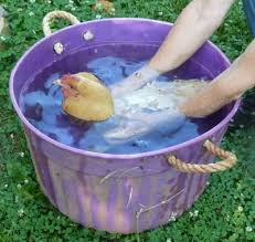 Broody Hen In Cold Bath