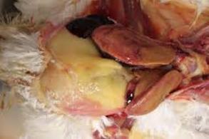 Fatty Liver (Credit: Merck Vet Manual)
