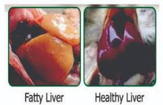 Healthy/Fatty Liver (Credit: poultry Punch)